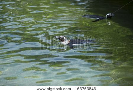 African penguin, also called the black-footed penguin, swimming