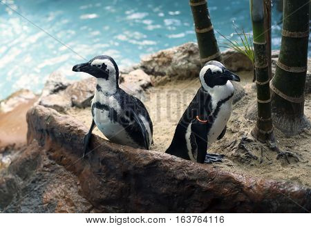 African penguins, also called the black-footed penguins, near a pool