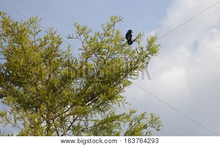 Red-winged blackbird perched near the top of a tree