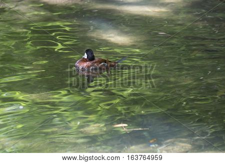 Ruddy duck (Oxyura jamaicensis) in a small pond