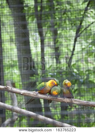 Three sun conures perched in a cage