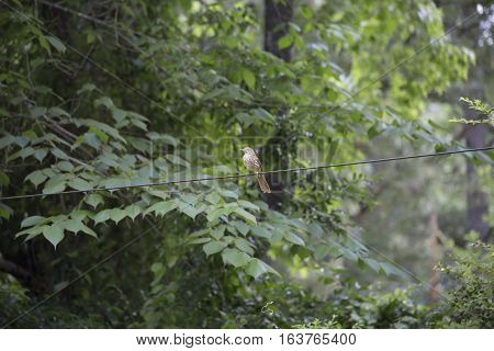 Thrush bird on a wire with a natural background