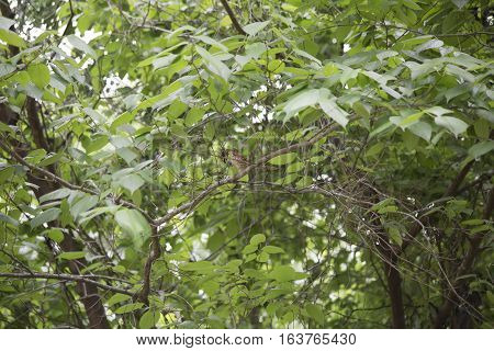 Thrush bird on a limb with lush, green leaves