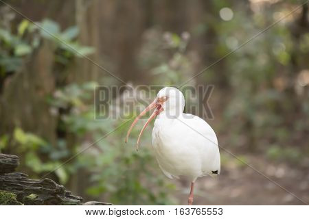 Close up of a white ibis bird