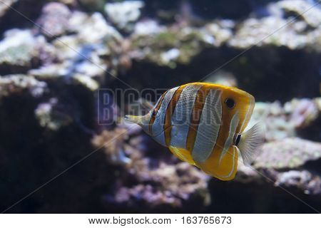 Close up of a copperband butterflyfish also called a beaked coral fish and a longnose butterflyfish (Chelmon rostratus)