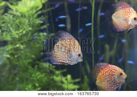 Close up of three discus fish swimming