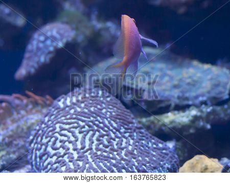 Close up of a hawkfish anthias (Serranocirrhitus latus) swimming away