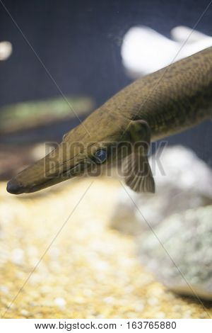 Close up of a gar fish swimming