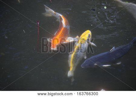 Koi (Cyprinus carpio), also called nishikigoi, swimming
