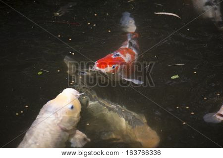Koi (Cyprinus carpio), also called nishikigoi, fighting for food at the top of the water