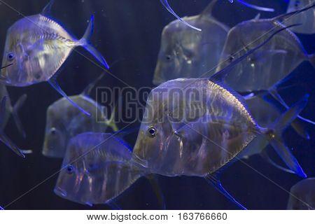 School of lookdown fish (Selene vomer) swimming