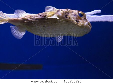 Extreme close up of a pufferfish swimming