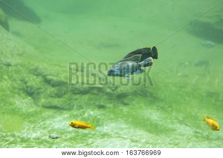 Four African river fish swimming in freshwater