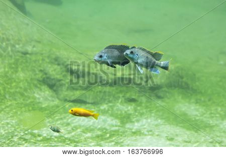 Three African river fish swimming in freshwater