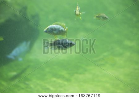 African river fish swimming in fresh water