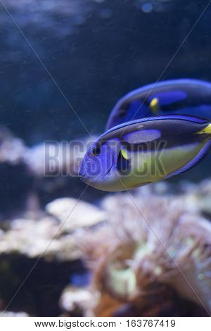 Two yellow belly blue tang (Paracanthurus hepatus)