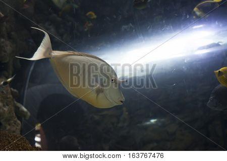 Close up of a unicorn tang fish swimming