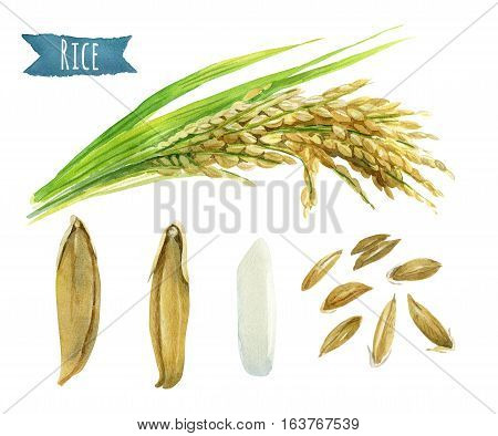 Rice hand-painted watercolor illustration set with clipping paths