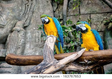 two blue-and-yellow macaw sitting on a branch