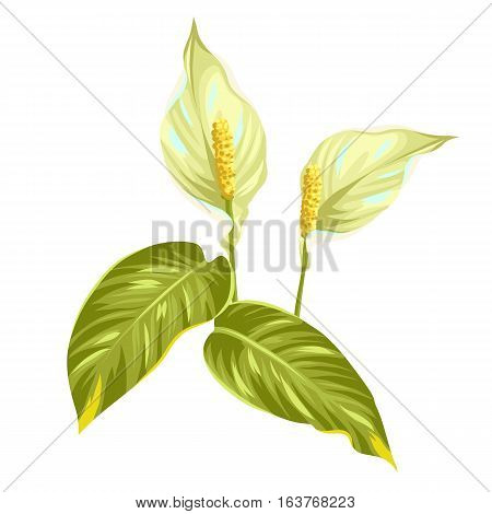 Bouquet of two decorative flowers spathiphyllum on white background.