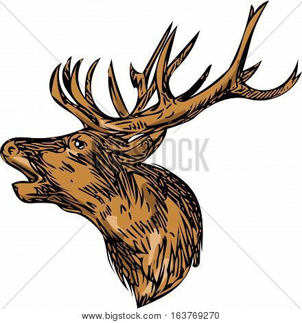 Drawing sketch style illustration of a red deer stag buck head roaring facing side set on isolated white background.