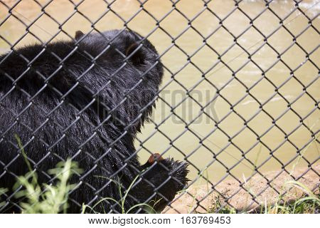 Close up of an Andean bear (Ursus ornatus) eating