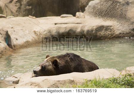 Brown bear (Ursus arctos) climbing out of water
