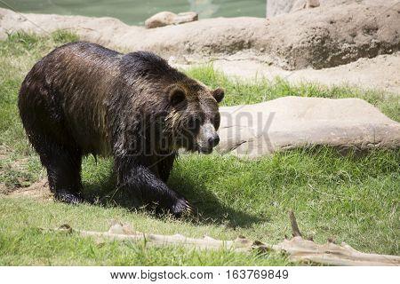 Brown bear (Ursus arctos) walking toward the camera