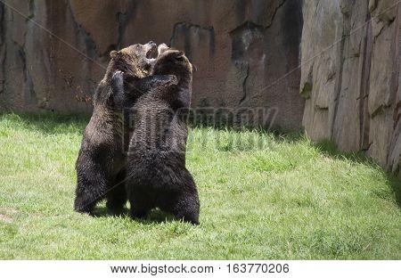 Brown bears (Ursus arctos) about to mate