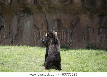 Brown bears (Ursus arctos) preparing to mate