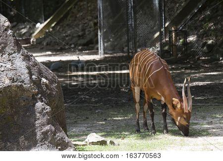 Bongo antelope (Tragelaphus eurycerus) grazing outdoors.