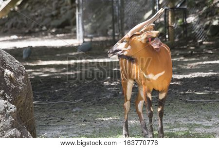 Close up of a bongo (Tragelaphus eurycerus)