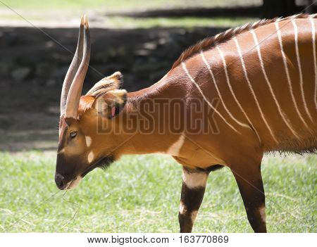 Profile of a bongo (Tragelaphus eurycerus) in a field