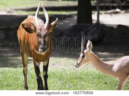 Close up of a bongo and gazelle