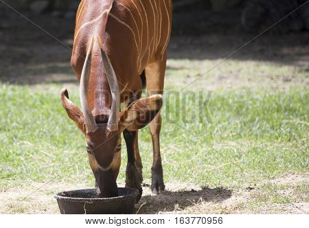 Bongo (Tragelaphus eurycerus) eating from a feed pan