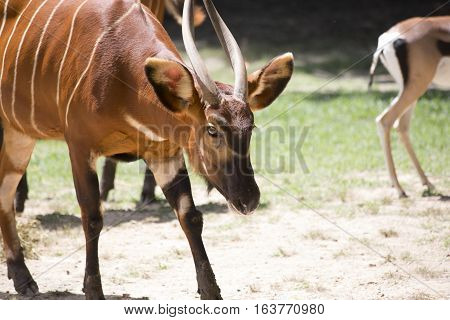 Close up of a bongo with a gazelle in the background