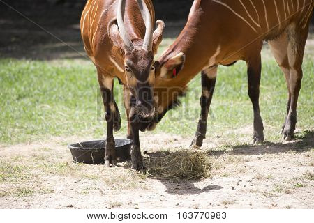 Two bongos (Tragelaphus eurycerus) eating from a feed pan