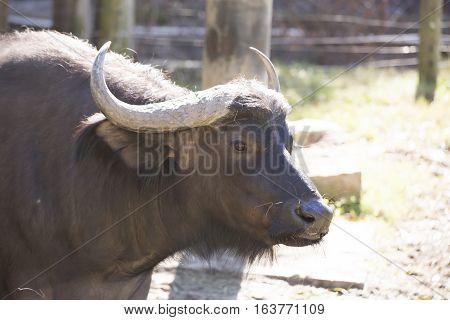 Close up of cape buffalo (Syncerus caffer)