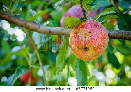 Italian typical rotten apple on the tree