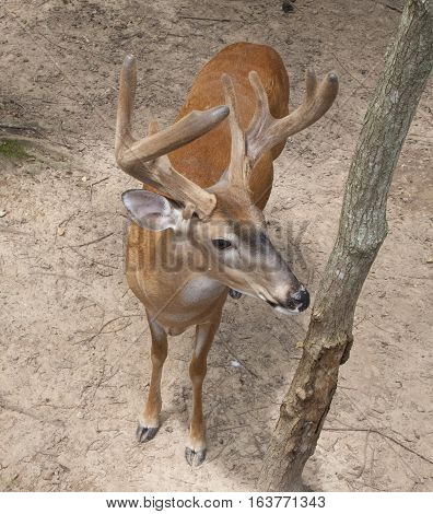 Buck with velvet antlers in the forest