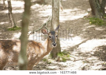 White-tailed deer doe in a shady forest