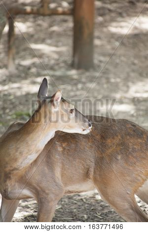 White-tailed deer doe looking over her back
