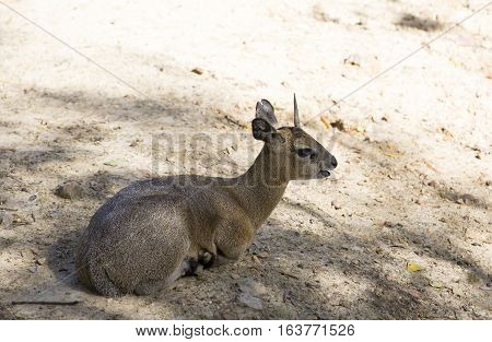 Dik-dik (Madoqua kirkii) lying in the shade