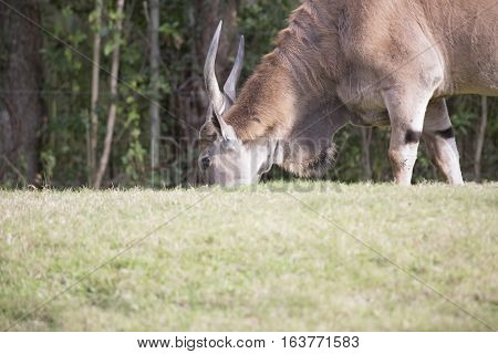 Close up of an eland antelope grazing