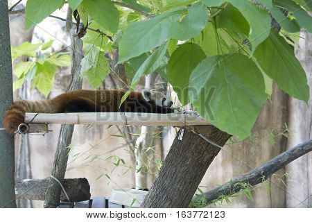 Red panda (Ailurus fulgens), or red bear-cat, resting on a plank