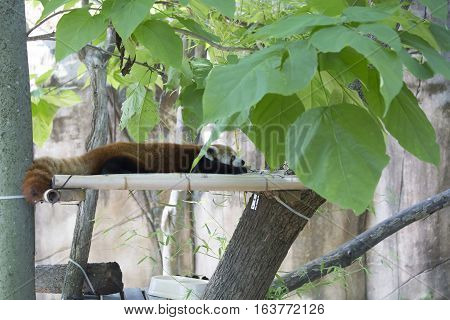 Red panda (Ailurus fulgens) or red bear-cat resting on a plank