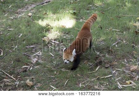 Red panda (Ailurus fulgens), or red bear-cat, walking in a grassy pasture