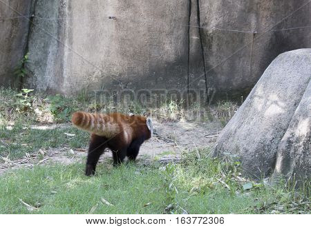 Red panda (Ailurus fulgens), or red bear-cat, walking away