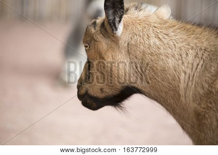 Close up of the head of a brown goat
