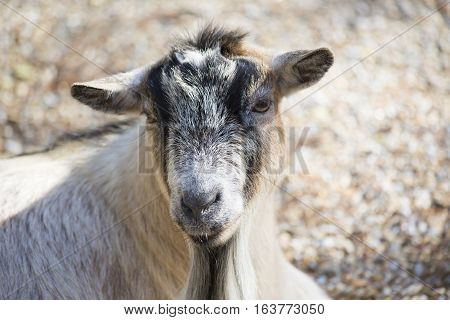 Close up of a happy brown and black goat